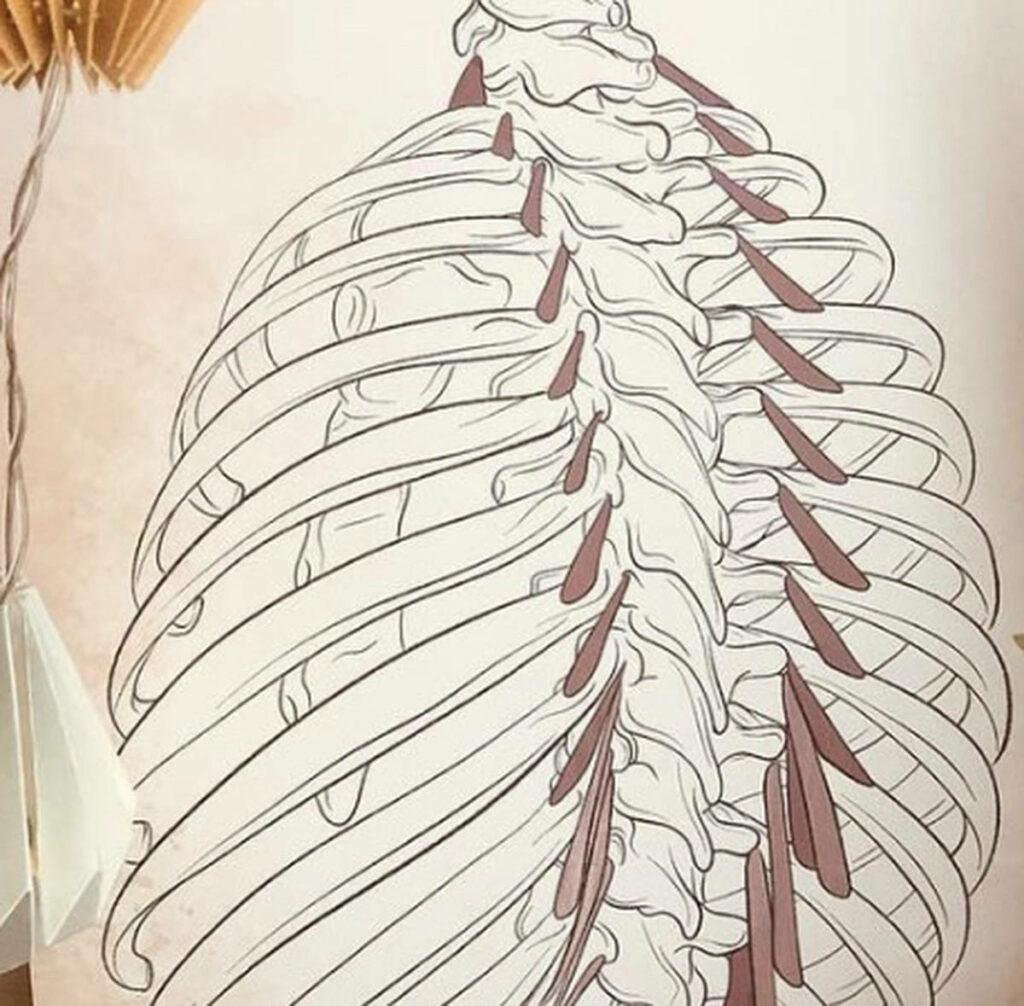 Les muscles élévateurs des côtes